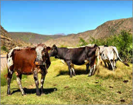 Kenyan dairy farm project set up by Italian investors